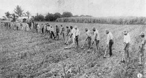 """""""Australian South Sea Islanders hoeing a cane field in the Herbert River region, Queensland, 1902"""" Source: State Library Qld"""